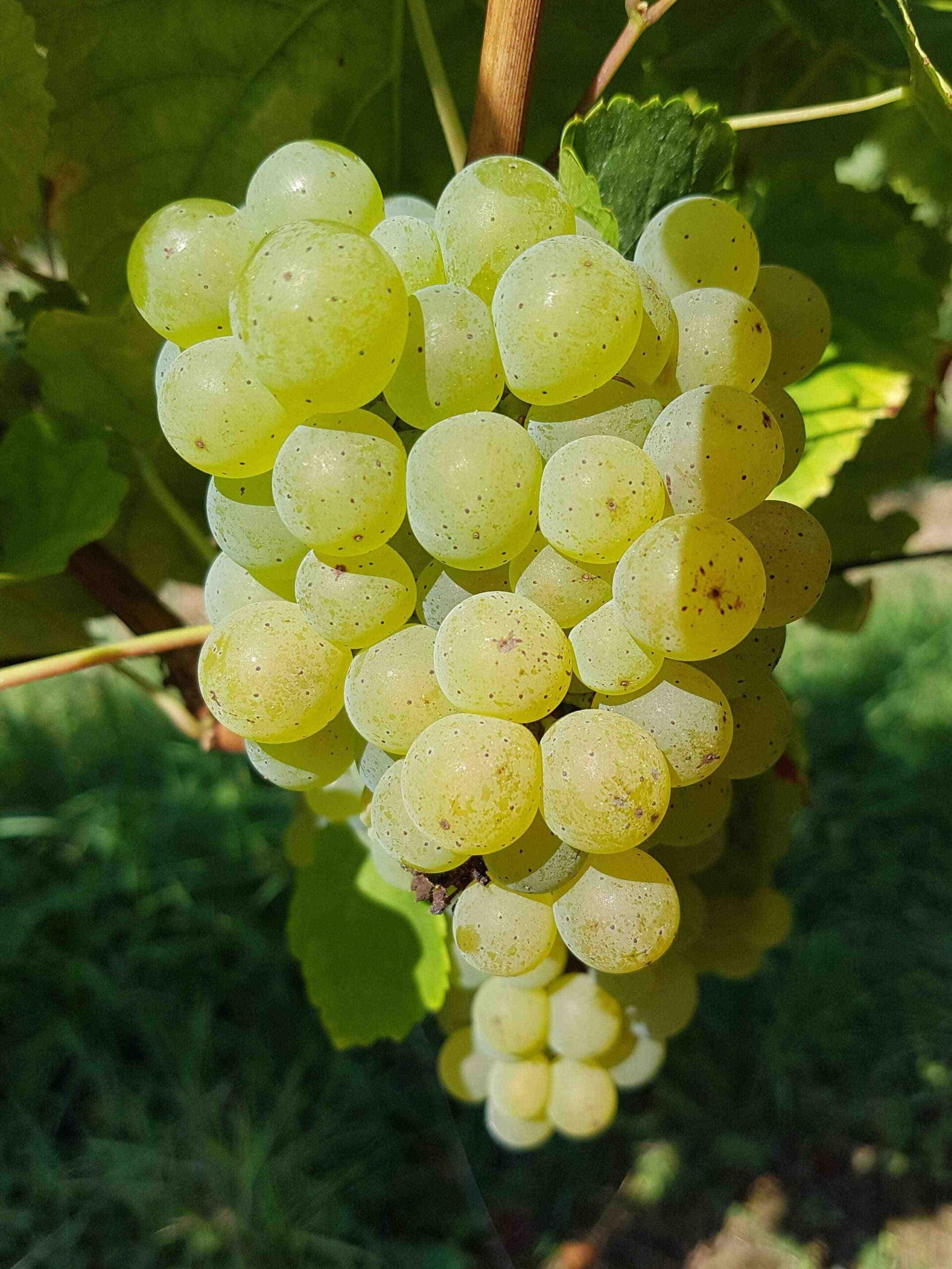 Que sont les vins rouges d'Alsace?