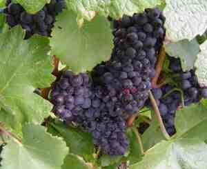 Comment sont fabriqués les raisins blancs ?