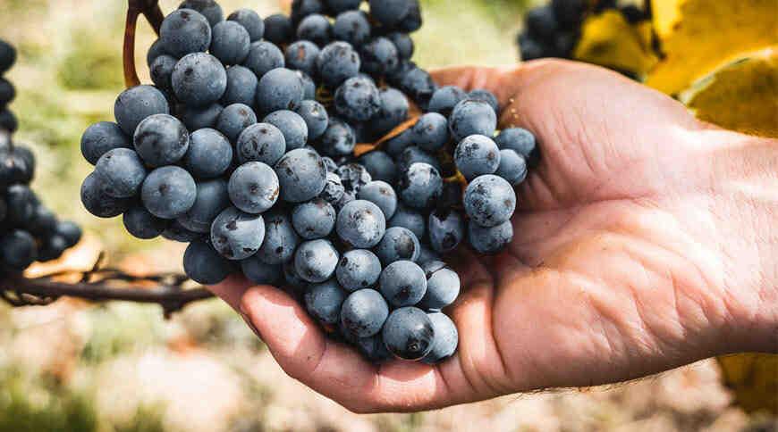 Quel raisin pour le vin blanc ?