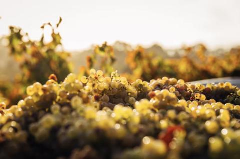 Quels raisins pour le vin rouge ?