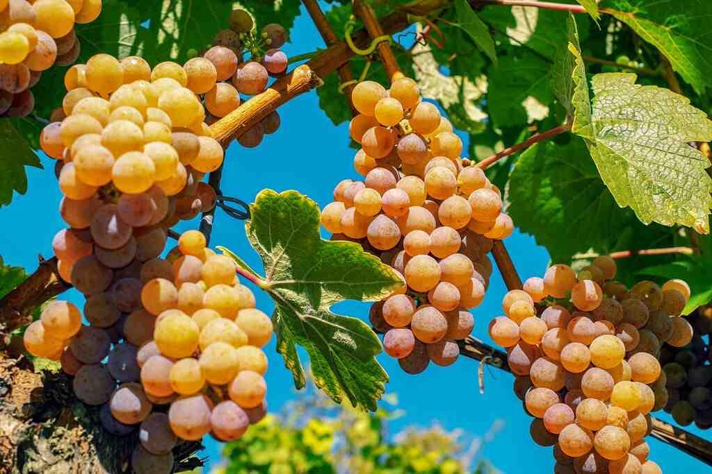 Quels raisins sont les meilleurs pour le vin?