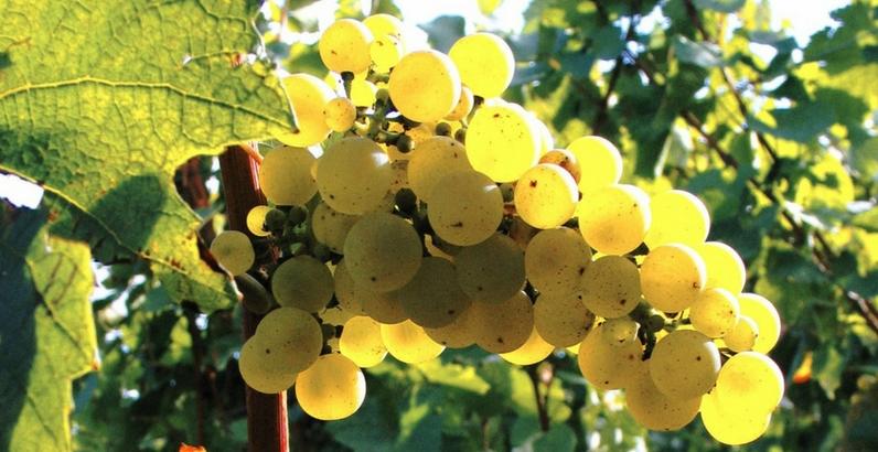 Quel raisin pour du vin rouge ?